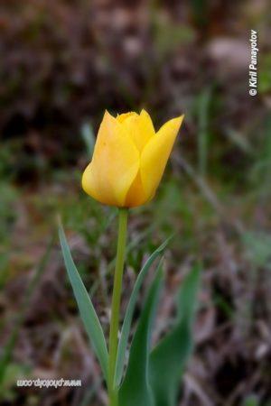 урумово лале, пролет